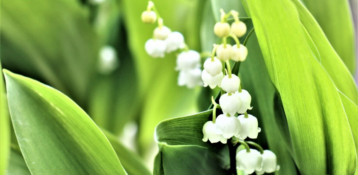 lily-of-the-valley-5182979_1920