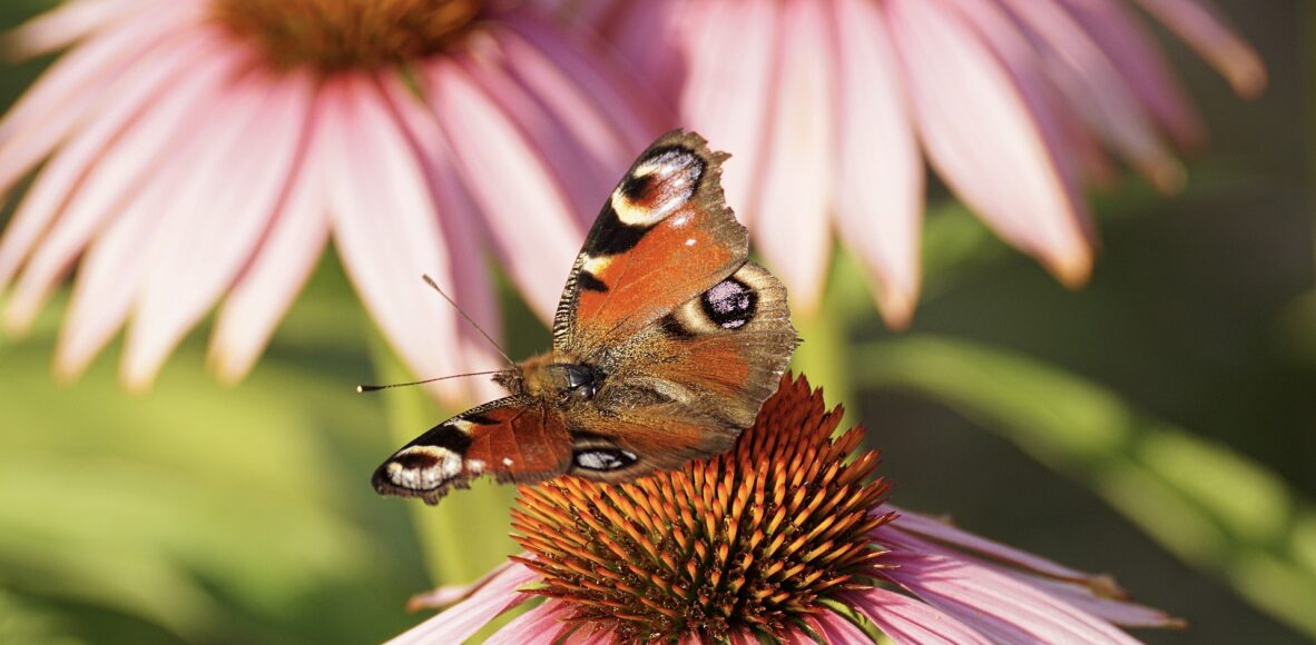 peacock-butterfly-3514955_1920